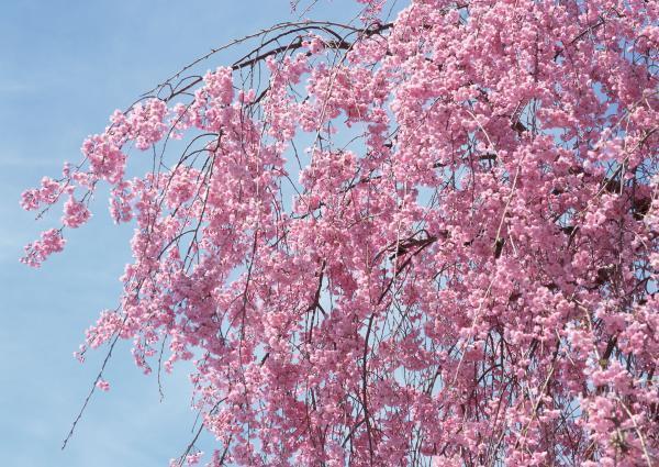 樱花供应:5-10cm