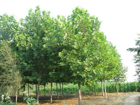 法桐良种繁育用作培养砧木苗的少