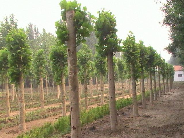 法桐苗木生长旺盛具有再生能力