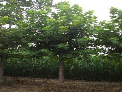 法桐植物冬寒夏热雨季多集中在夏季