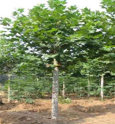 法桐苗木生长土壤中水分养分种子发芽