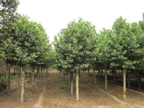 法桐播种季节苗木密度与播种量